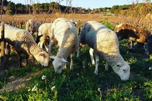 castell-reynoard-moutons